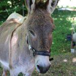 Esel auf La Dorgonne