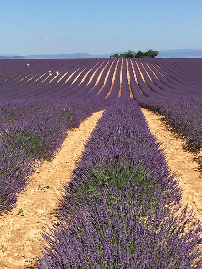 Provence Wein im Lavendel